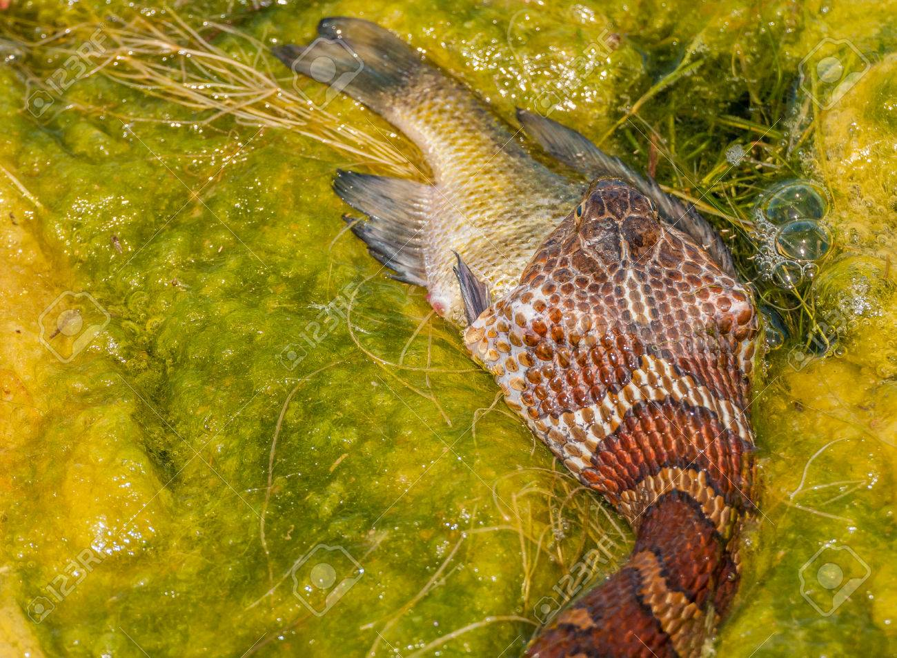 A Water Snake Eating Prey At The Edge Of A Pond Stock Photo
