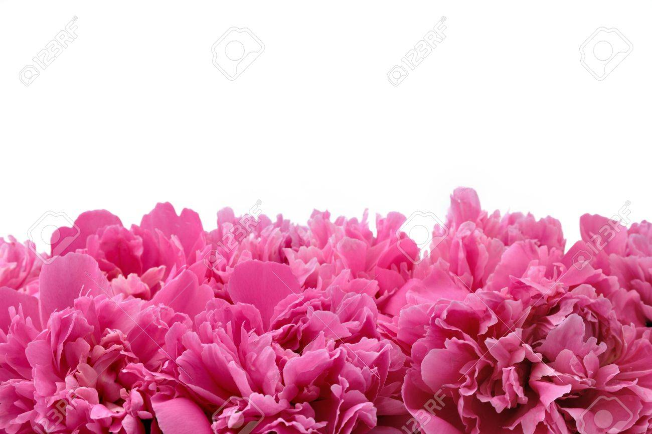 Peony over white background Stock Photo - 6293956