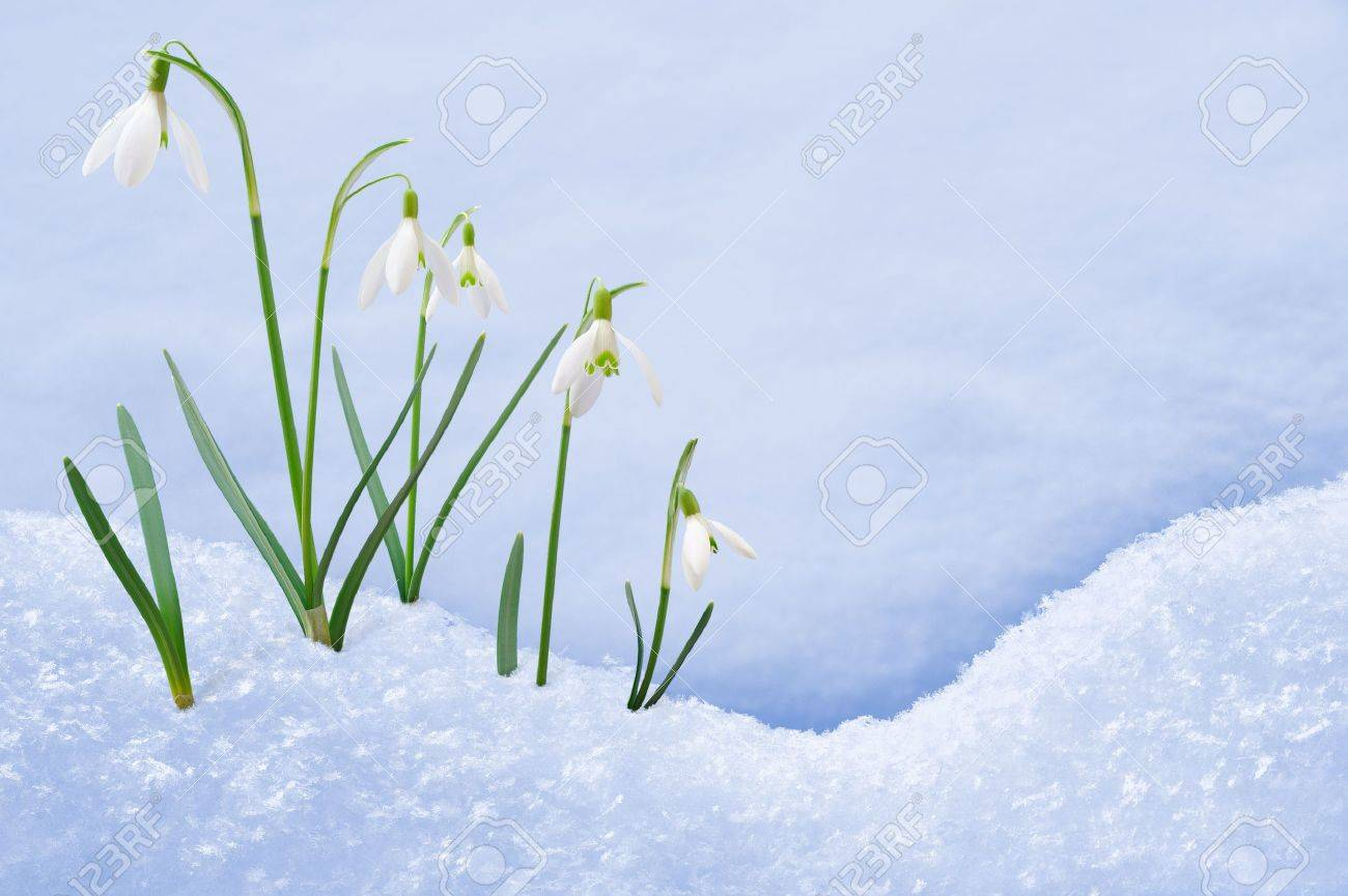 Group of snowdrop flowers  growing in snow Stock Photo - 10906302