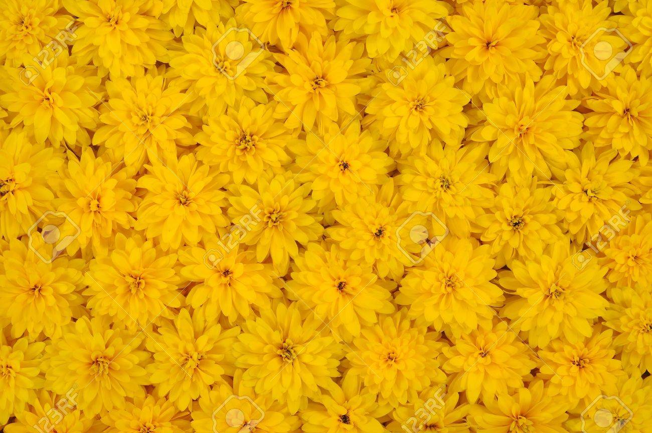 yellow daisy images  stock pictures. royalty free yellow daisy, Beautiful flower