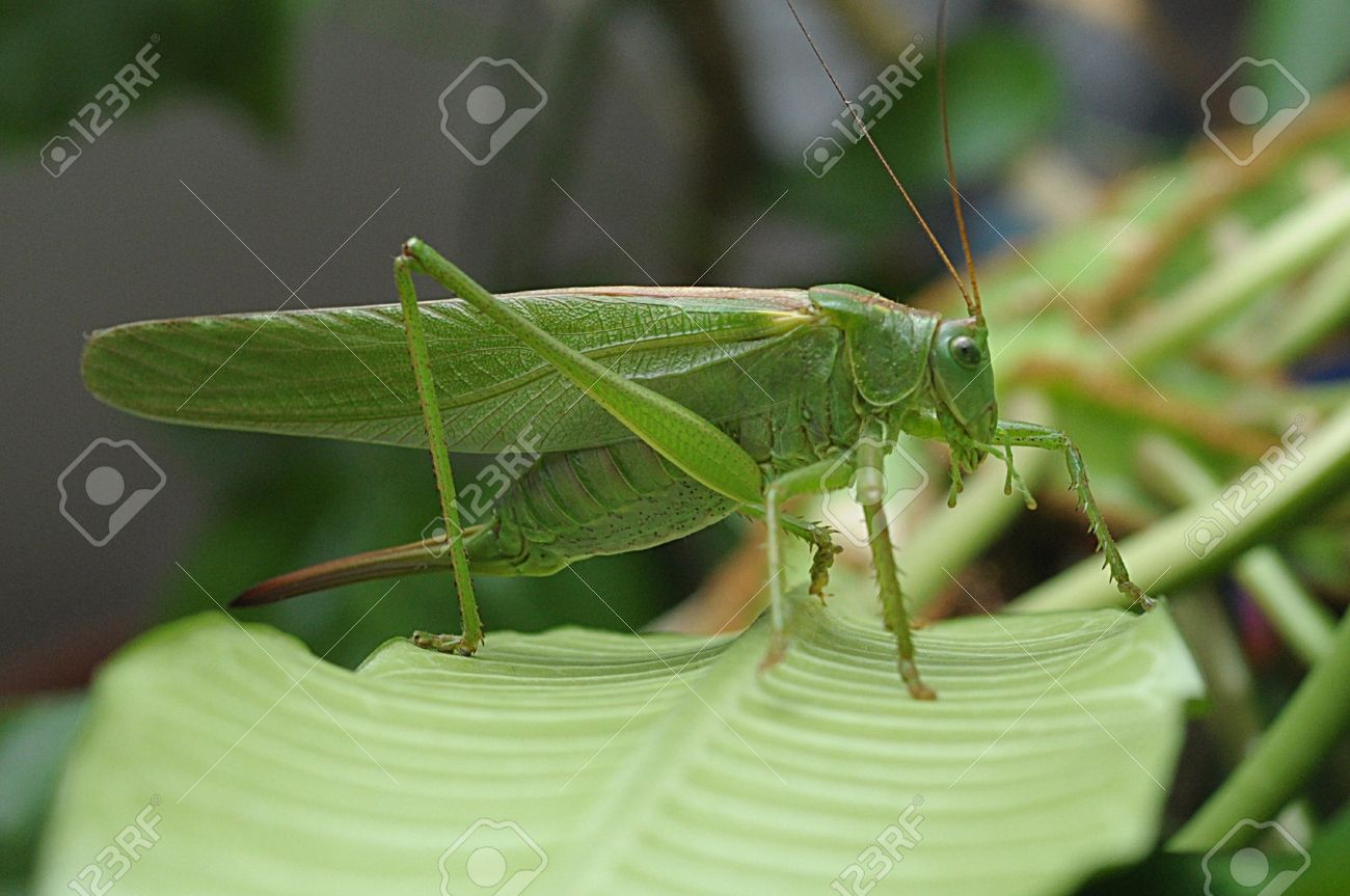 Side view of green grasshopper. Stock Photo - 21212390