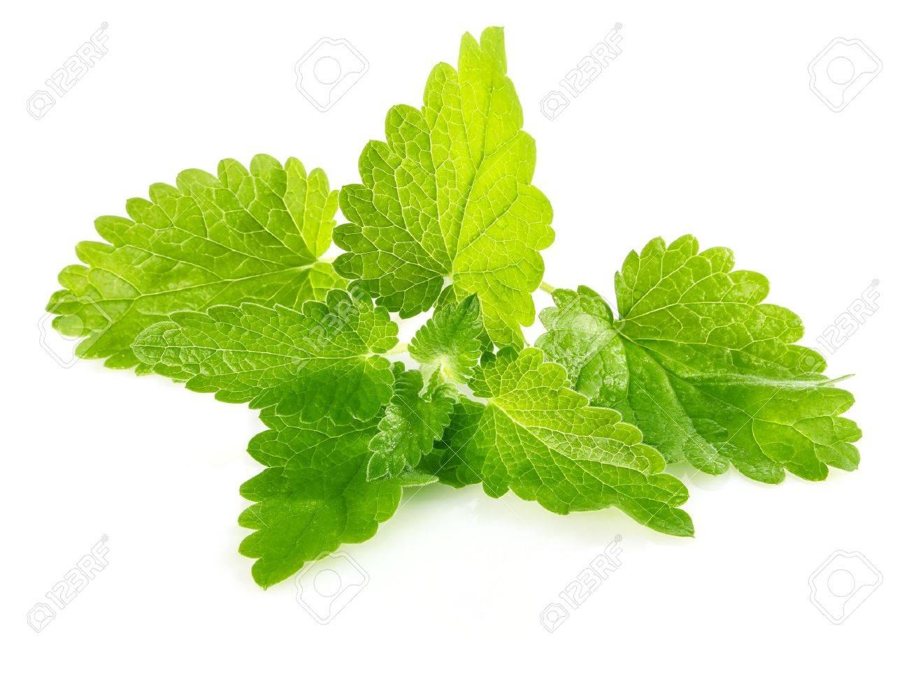 fresh green leaf of melissa isolated on white background Stock Photo - 13544227