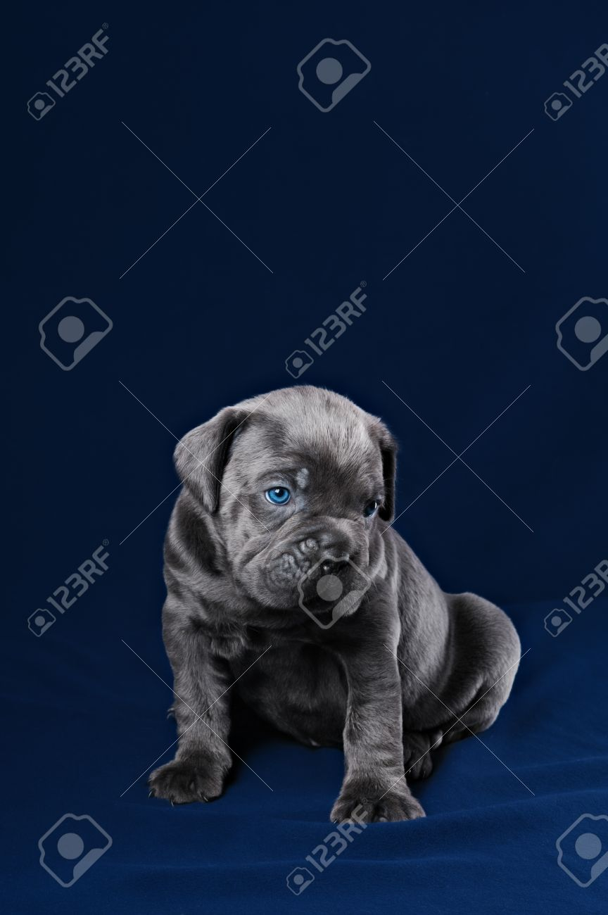 Grey Cane Corso Puppy With Blue Eyes On A Blue Background Stock