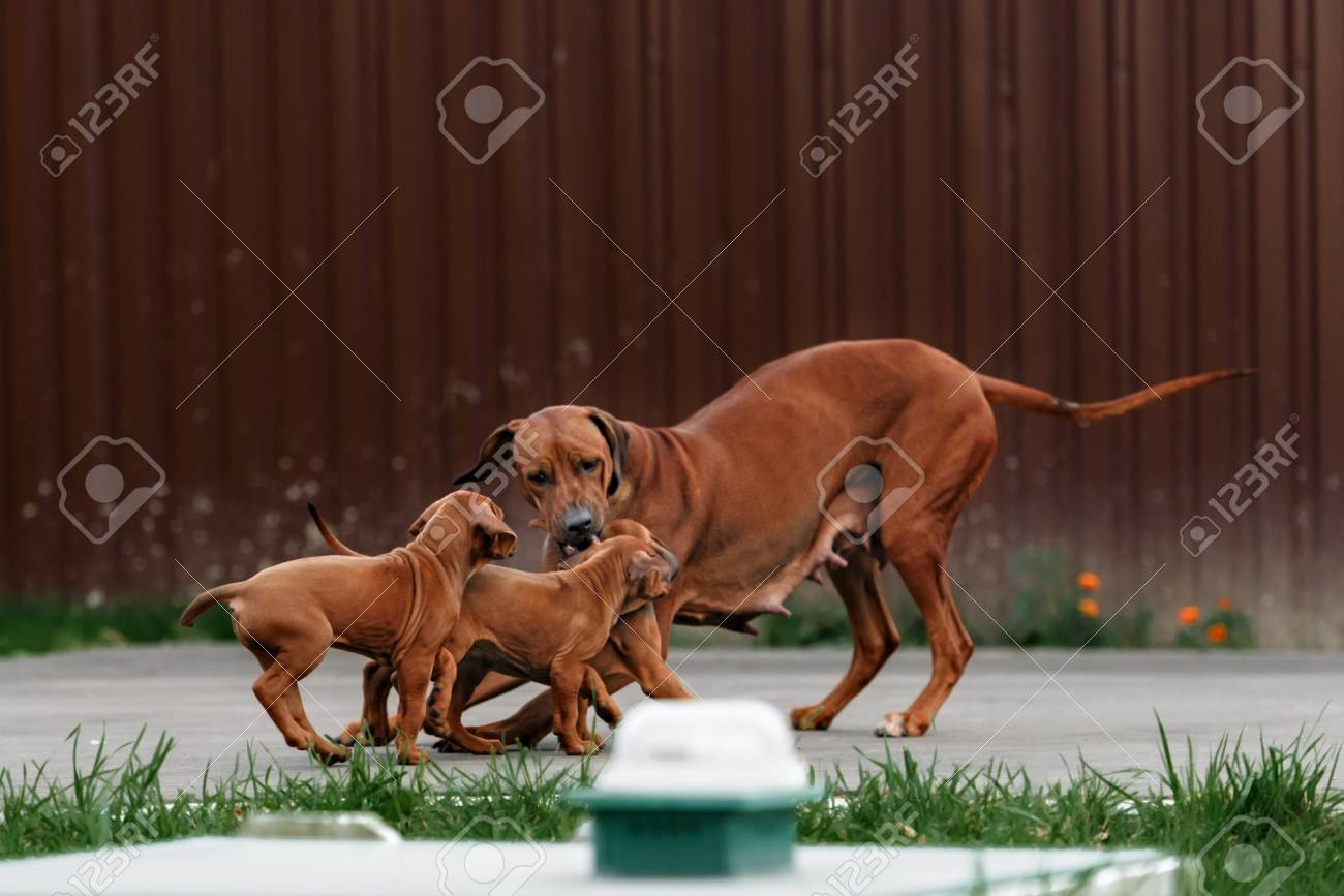 Download Rhodesian Ridgeback Brown Adorable Dog - 46420021-adorable-little-rhodesian-ridgeback-puppies-playing-together-in-garden-funny-expressions-in-their-fa  Photograph_943972  .jpg