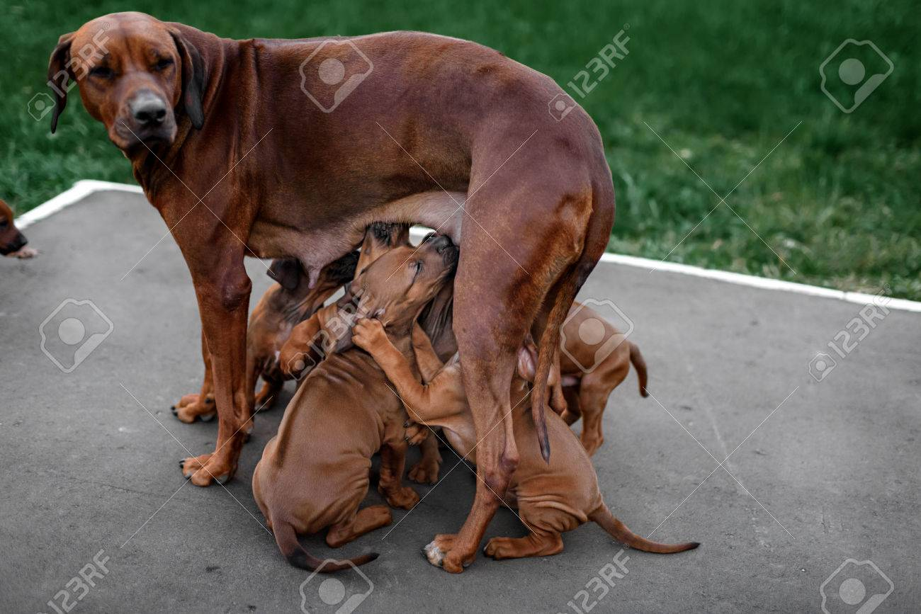 Most Inspiring Rhodesian Ridgeback Brown Adorable Dog - 46420911-adorable-little-rhodesian-ridgeback-puppies-playing-together-in-garden-funny-expressions-in-their-fa  Snapshot_27985  .jpg
