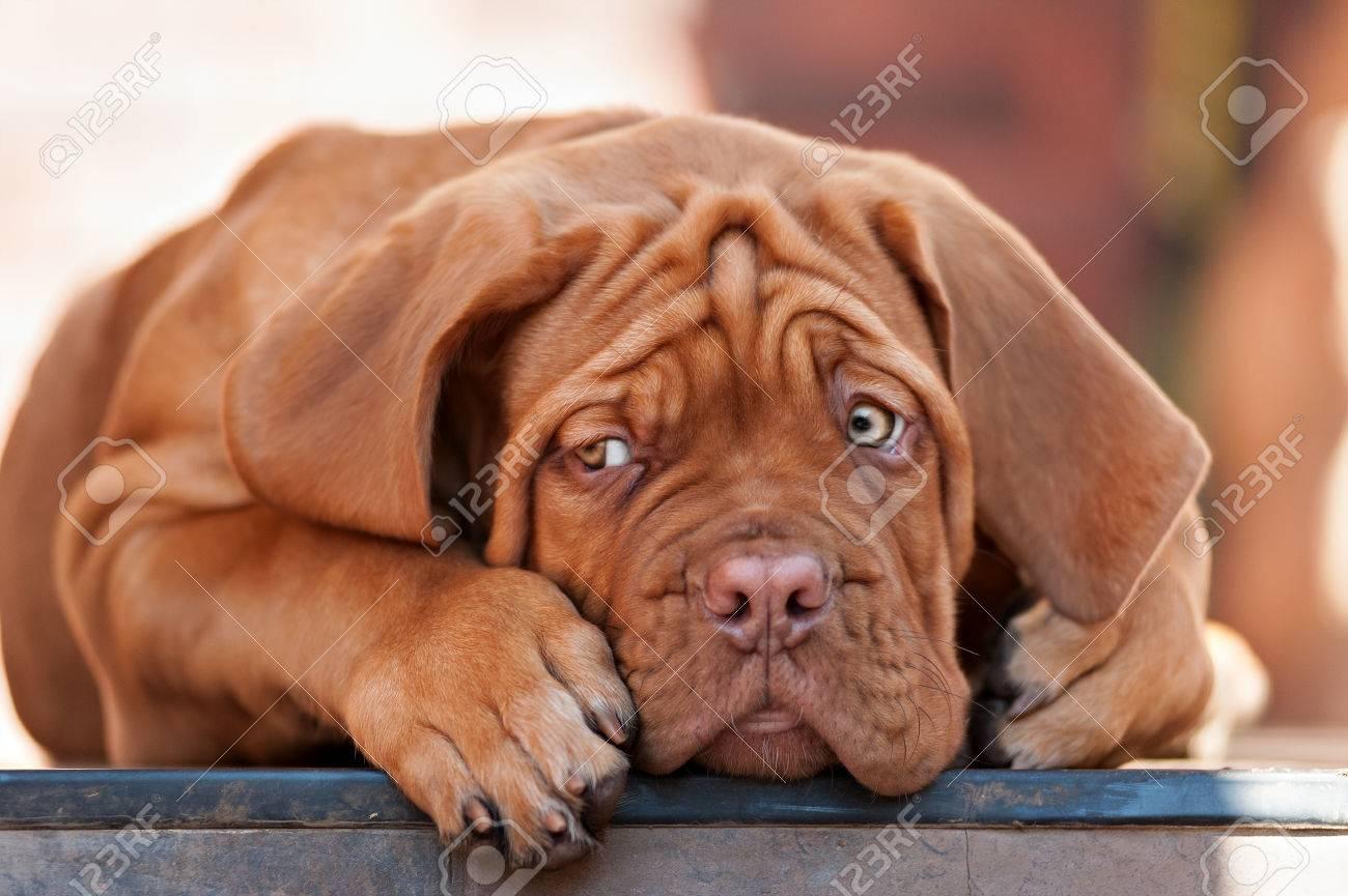 Puppys Tres Droles Bordeaux Chien A L Air Libre Banque D Images Et Photos Libres De Droits Image 46421858