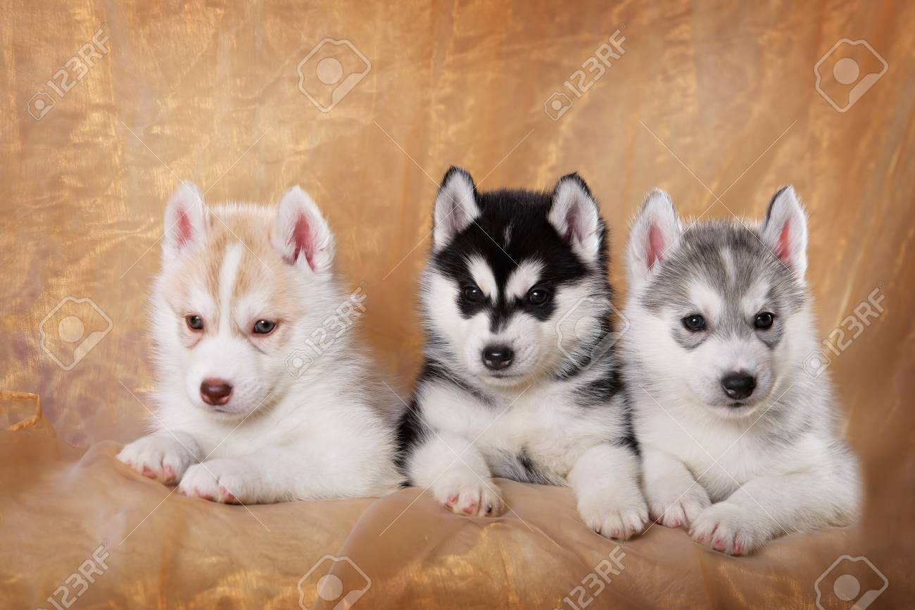 Three Siberian Husky Puppies On A Gold Background Stock Photo Picture And Royalty Free Image Image 46568526