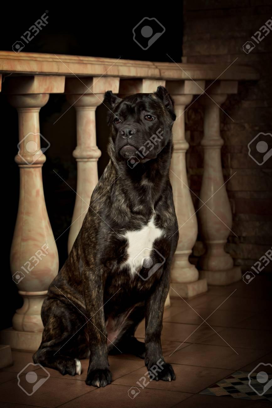 Cane Corso Black Dog On The Black Background фотография картинки