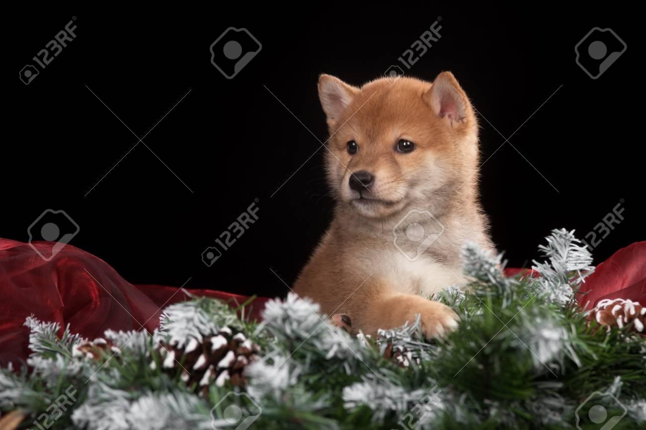 Puppy Shiba Inu Im Studio. Das Foto Für Gratulation Und Feier ...