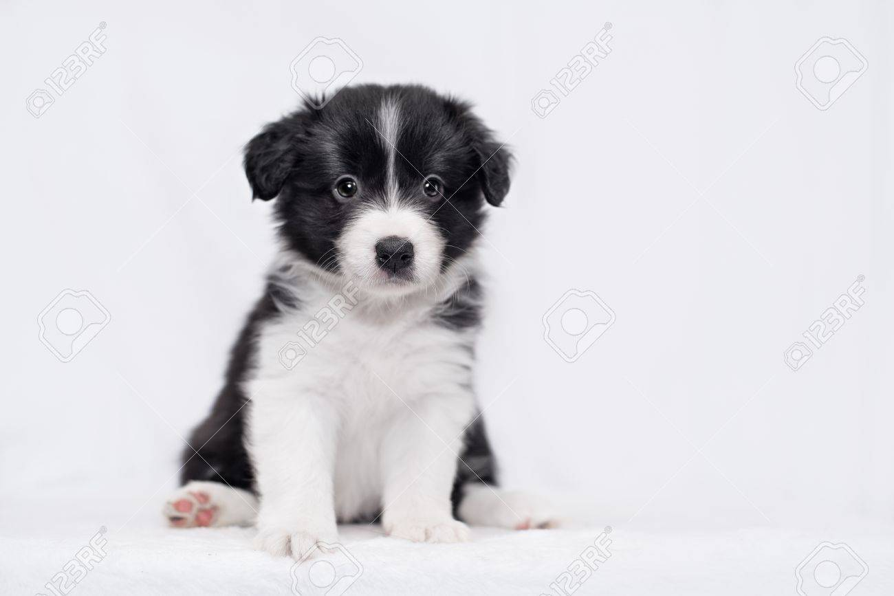 Cute Border Collie Puppy On A White Background Stock Photo Picture