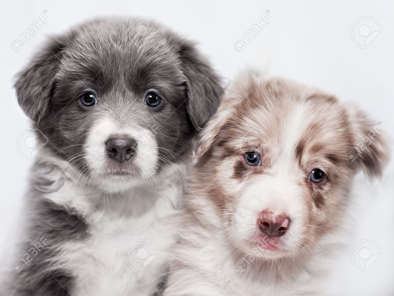 Portrait Of Two Puppies Of Breed Border Collie Blue And Spotted Stock Photo Picture And Royalty Free Image Image 55810237
