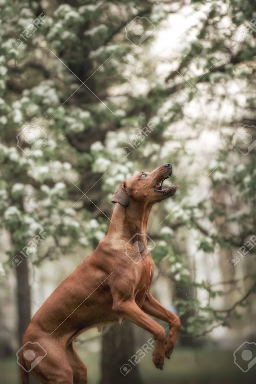 Fantastic Rhodesian Ridgeback Brown Adorable Dog - 58844150-adorable-rhodesian-ridgeback-dog-in-flowers-garden  Best Photo Reference_283488  .jpg