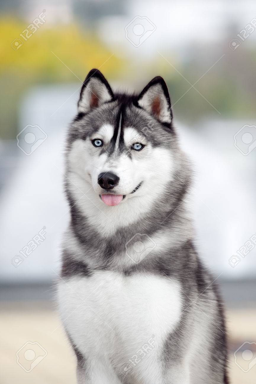 Portrait Of Siberian Husky Black And White Color In Outdoor Stock