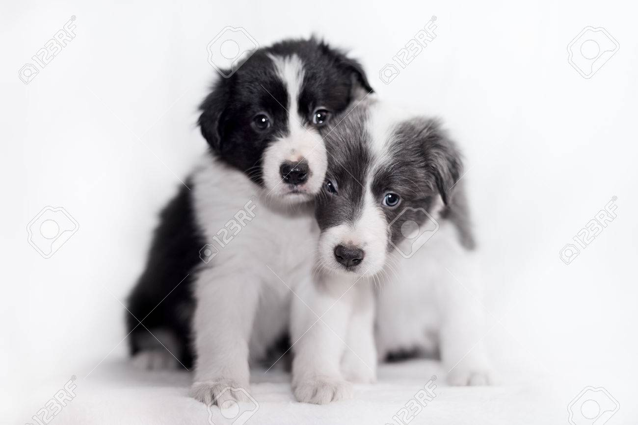 Blue Merle Border Collie Puppies 6 Weeks Old In Front Of White Stock Photo Picture And Royalty Free Image Image 65556254