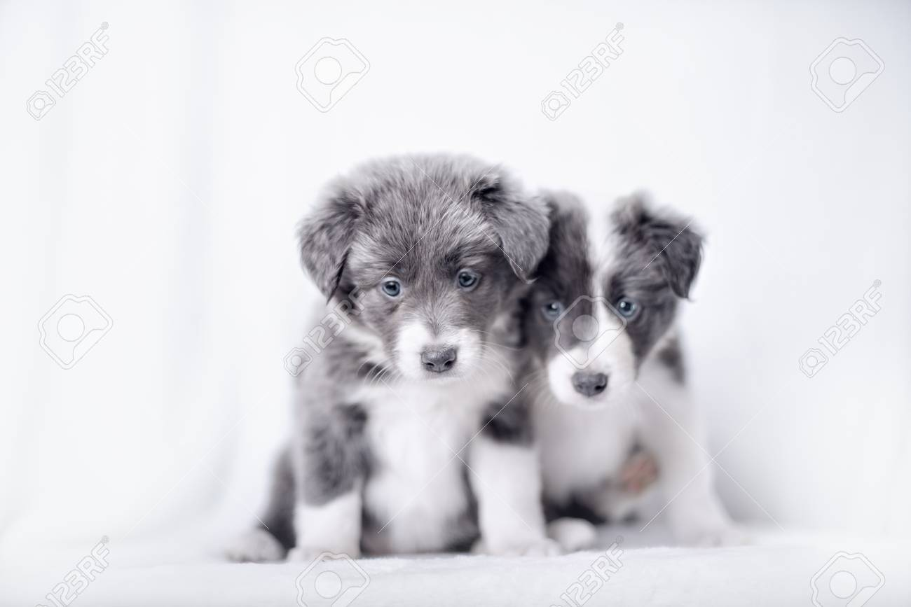 Blue Merle Border Collie Puppies 6 Weeks Old In Front Of White Stock Photo Picture And Royalty Free Image Image 65556257
