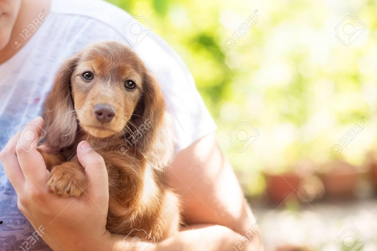 Beautiful Dachshund Puppy Dog With Sad Eyes Portrait Stock Photo