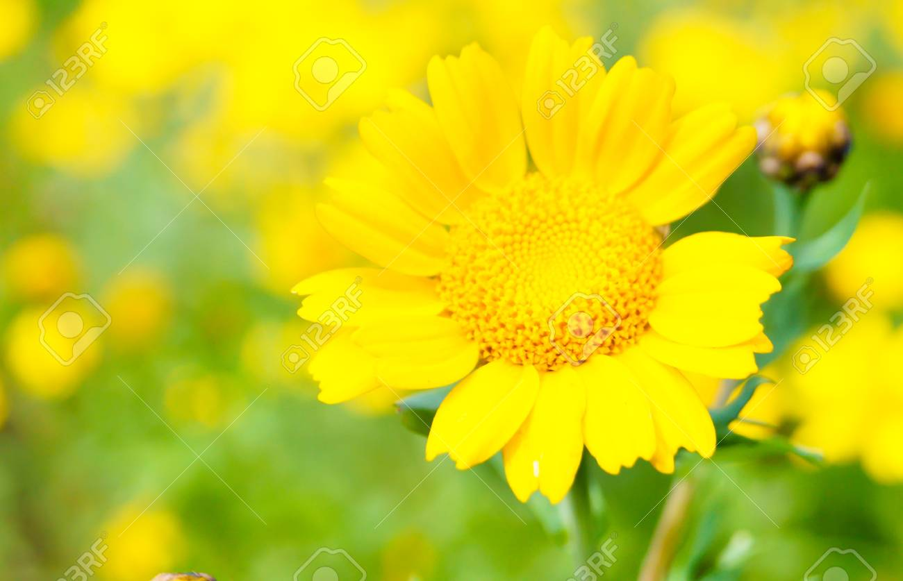daisy flower on a summer day Stock Photo - 17378970