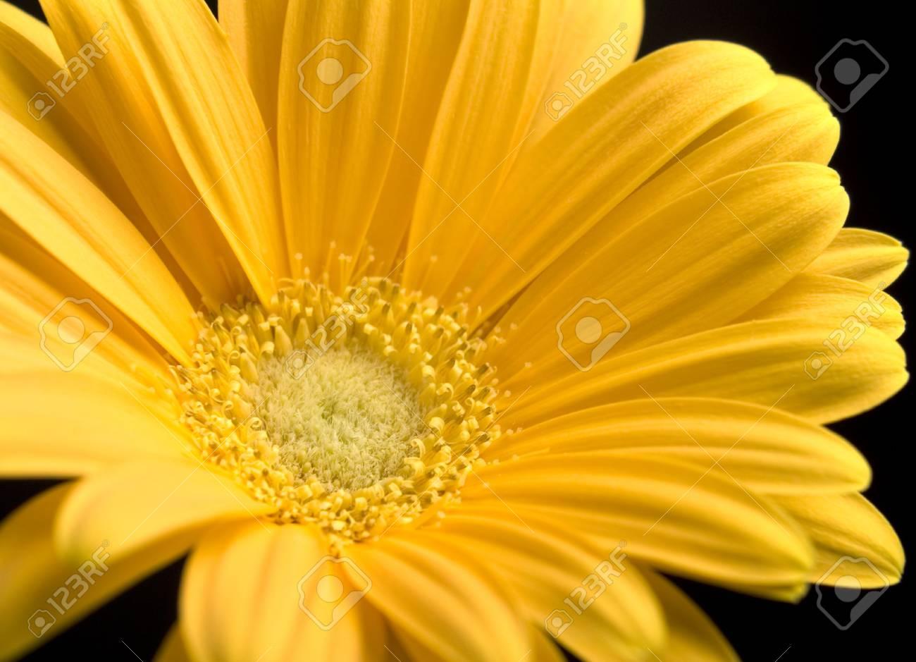 CLose up of bright yellow Gerbera Daisy Stock Photo - 7717080