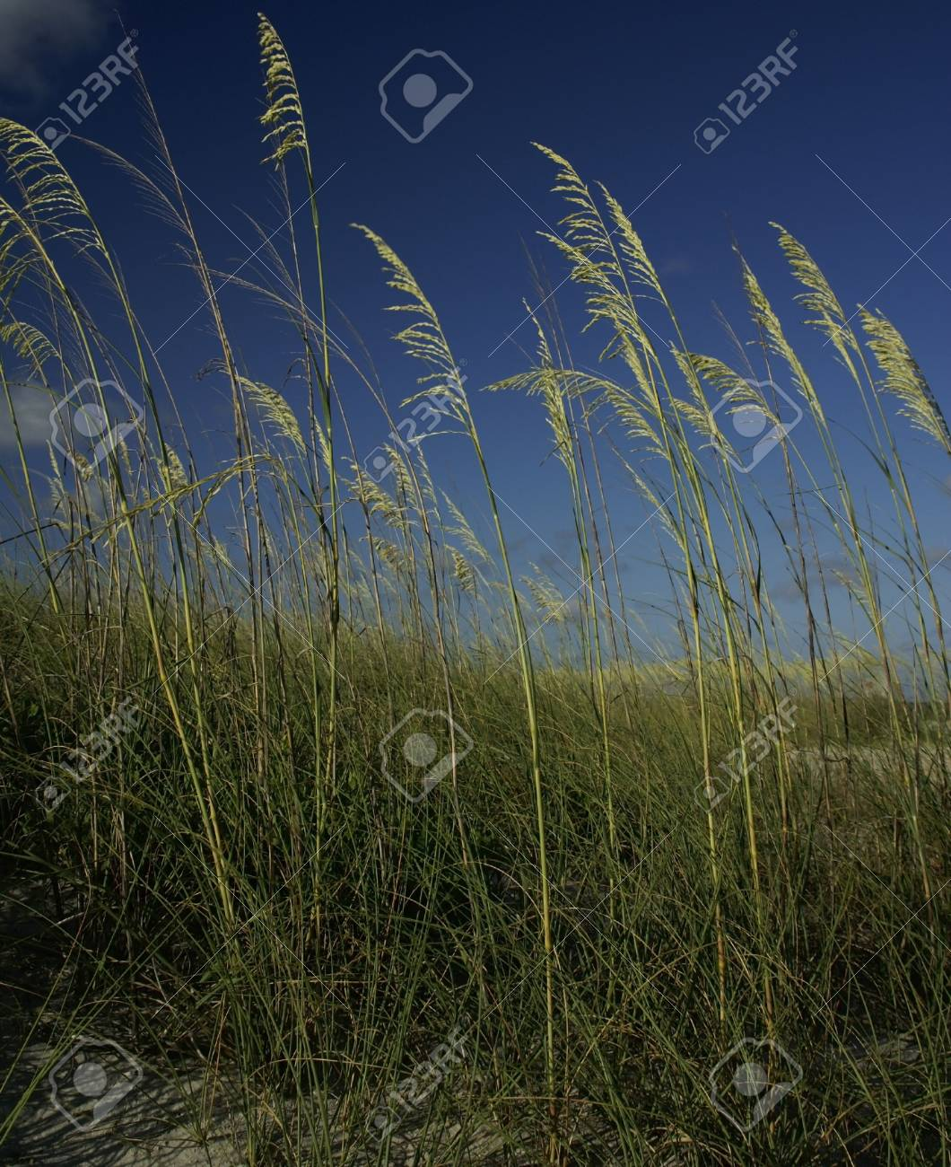 Green seagrass against a deep blue sky Stock Photo - 7717139