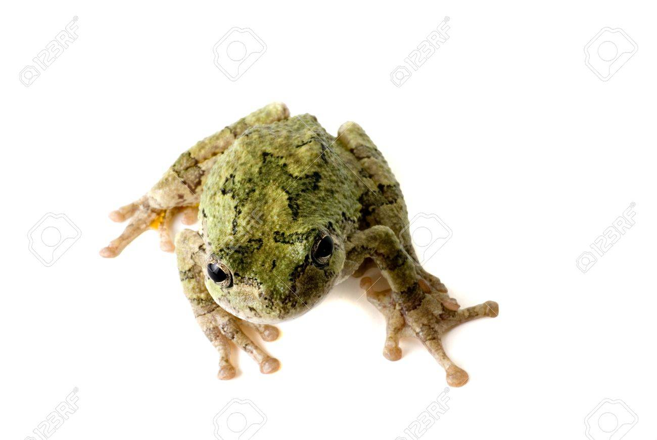 A green tree frog looking up at you. Stock Photo - 8885478
