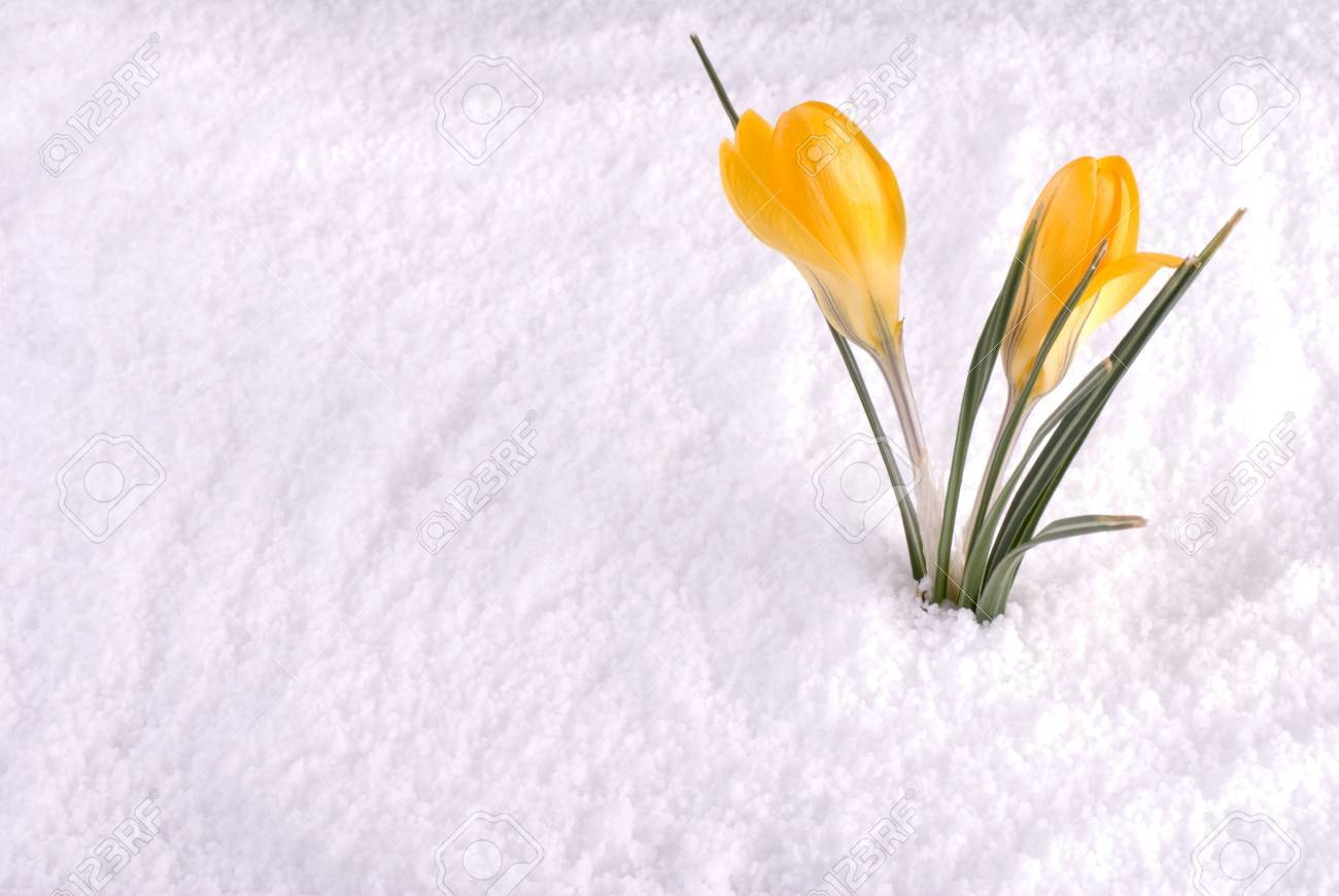 A yellow crocus flower in the snow stock photo picture and royalty a yellow crocus flower in the snow stock photo 13128150 mightylinksfo