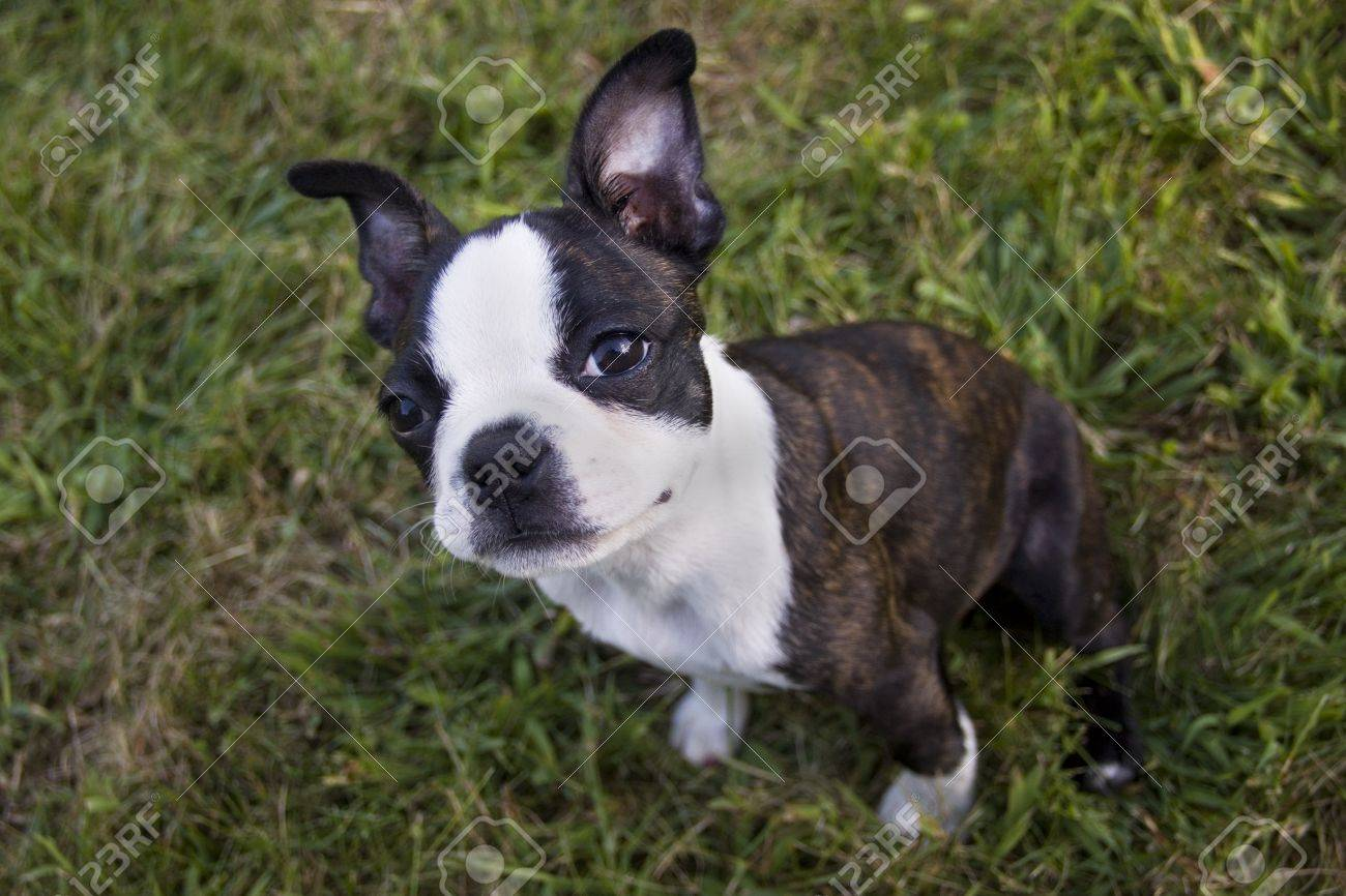 Préférence Looking for a boston terrier puppy – Dog life photo TH68