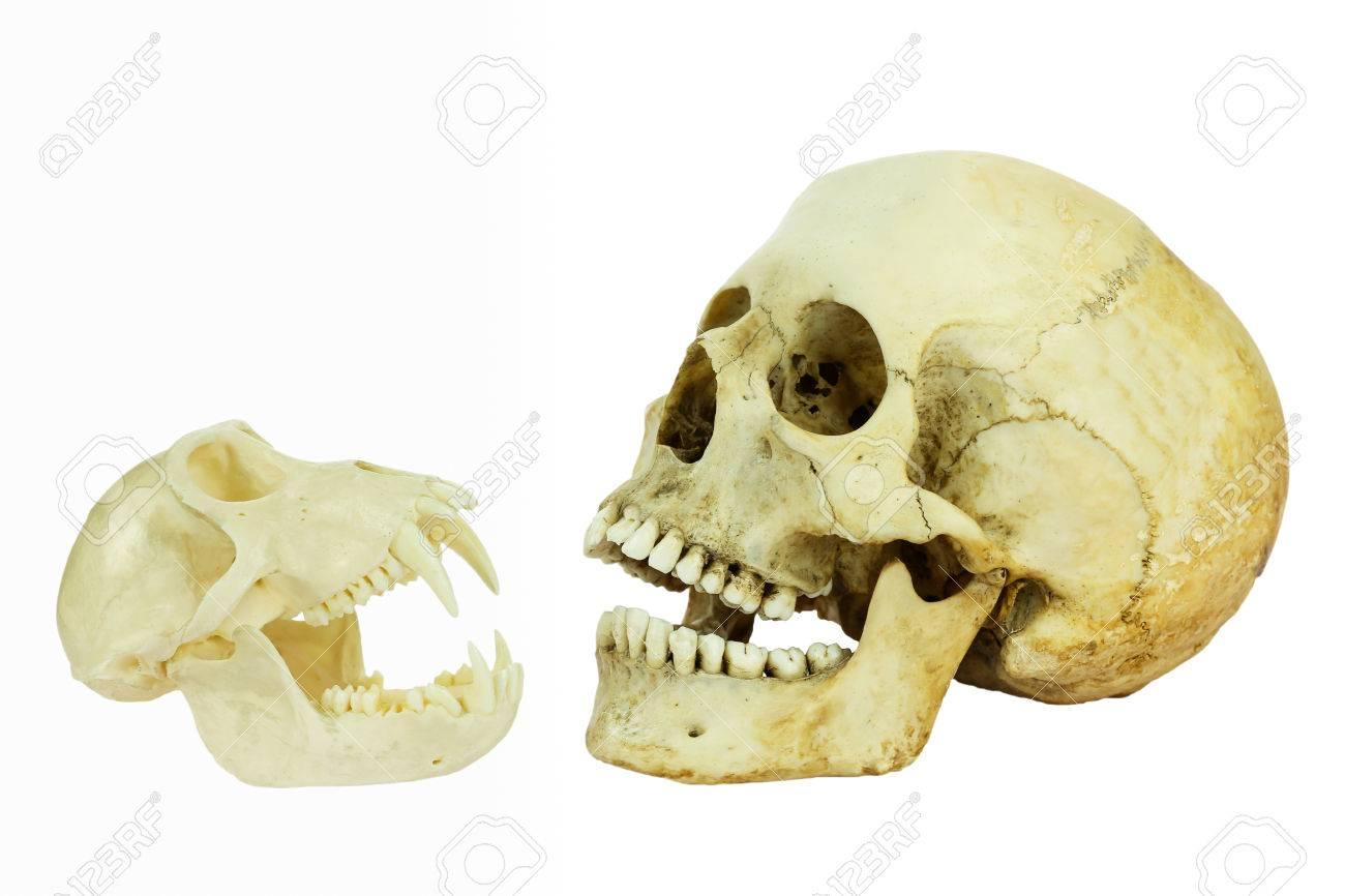 Menschen Und Affen Schädel Einander Gegenüber Mit Offenen Mündern ...