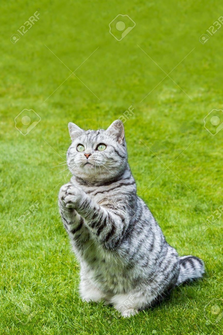 3c36c85f3022 Foto de archivo - Orar británico de pelo corto negro gato atigrado de plata  sentado en la hierba verde