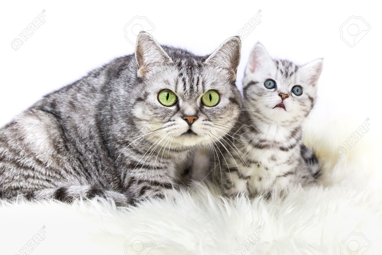 Mother British Shorthair Silver Tabby Cat Sitting With Young Stock