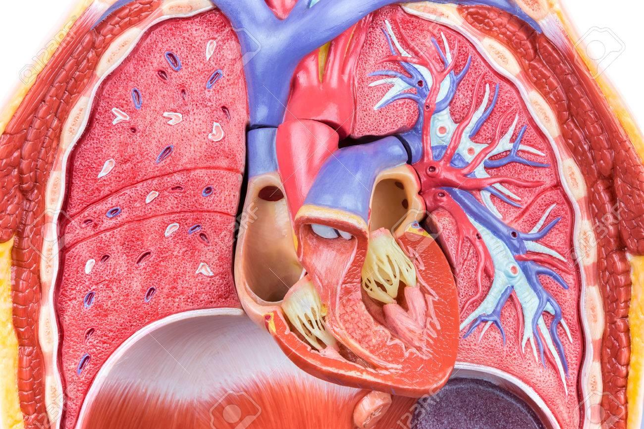 Herz Lunge Anatomie