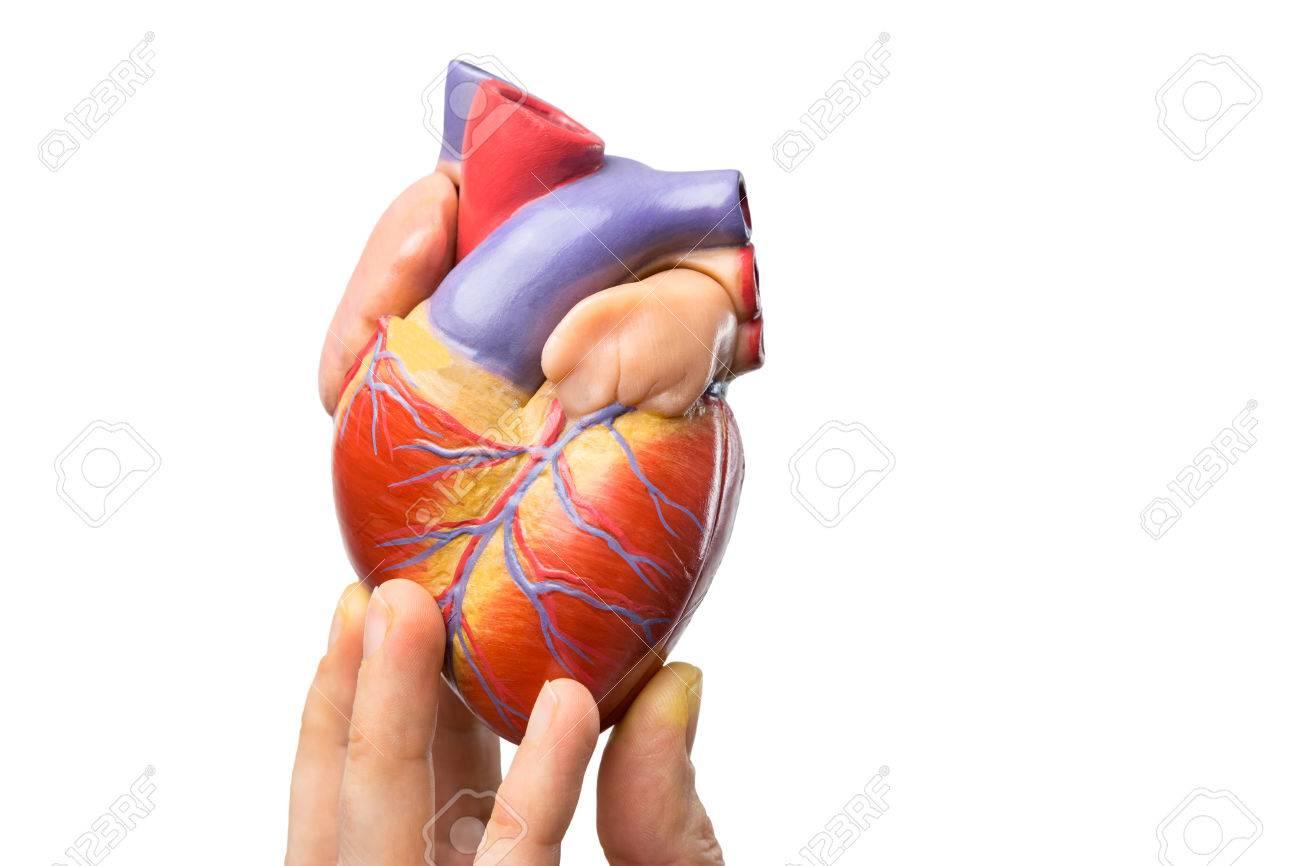 Fingers Modell Des Menschlichen Herzens Zeigt Auf Weißem Hintergrund ...