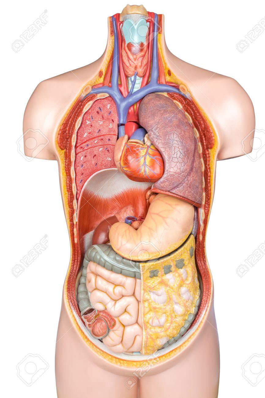Modelo Sintético Torso Humano Con órganos Aislados Sobre Fondo ...