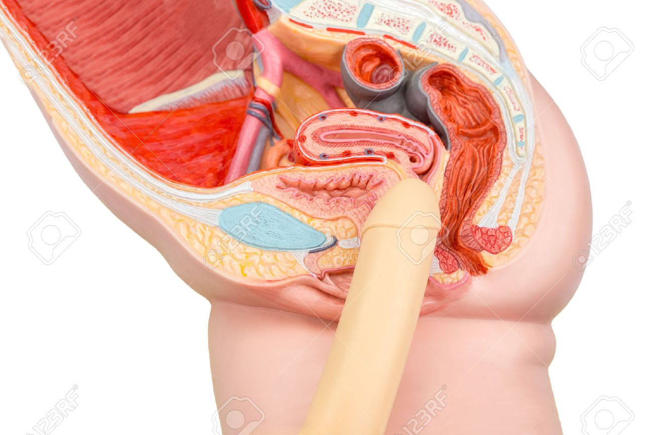 Human Sexual Intercourse Penis And Vagina Model Stock Photo, Picture ...