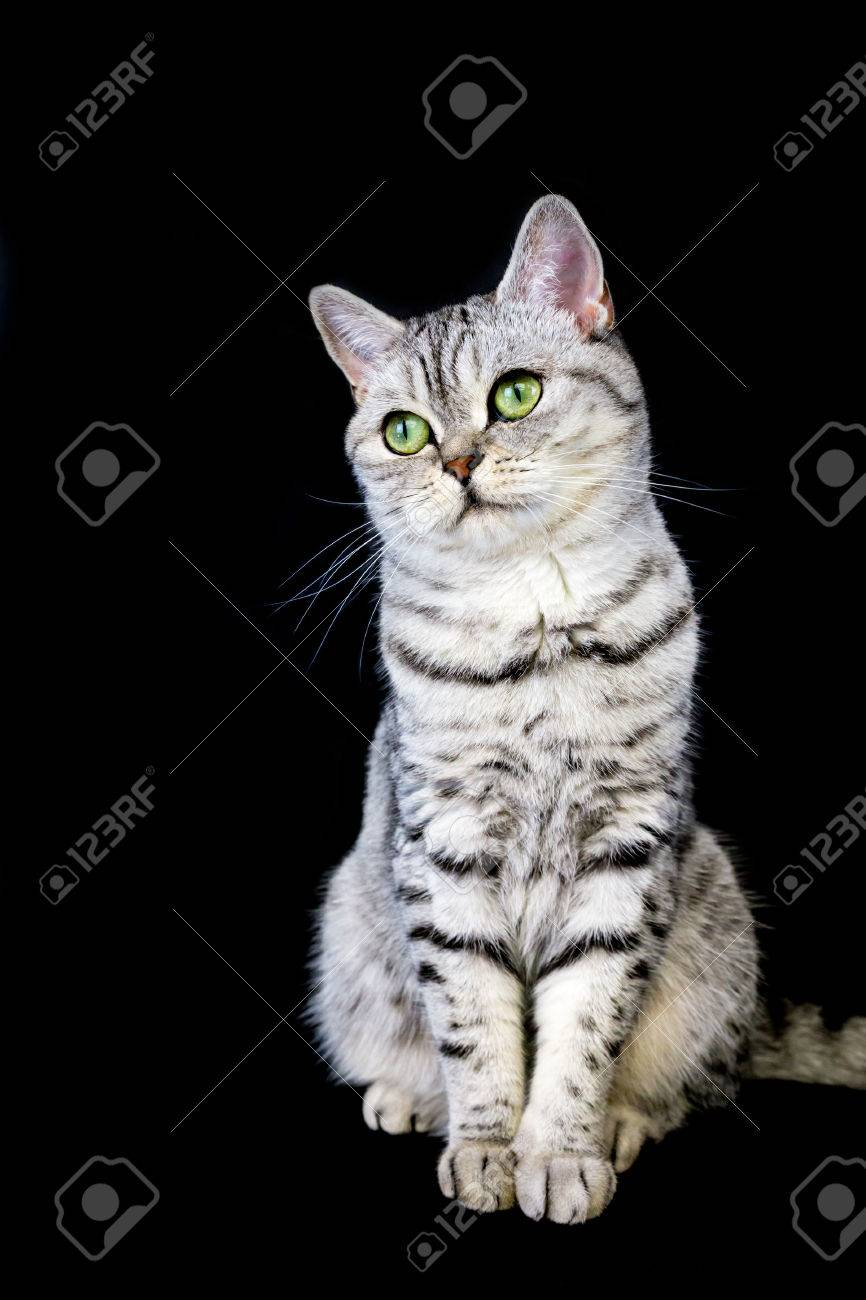 Adult British Short Hair Black Silver Tabby Cat On Black Background
