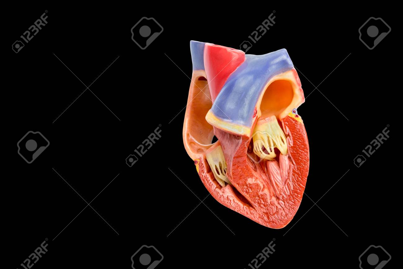 Inside artificial model of opened human heart isolated on black