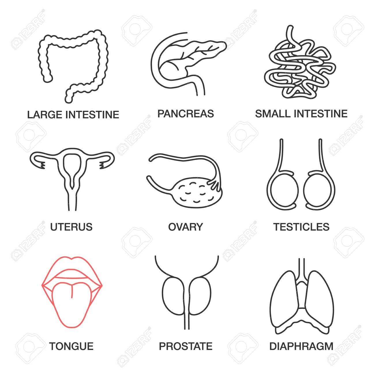 Internal organs linear icons set. Large and small intestine, pancreas, uterus, ovary, testicles, tongue, prostate, diaphragm. Thin line contour symbols. Isolated vector outline illustrations - 104665616