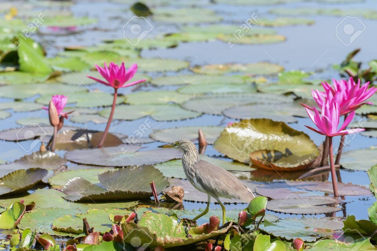Chinese pond heron bird walking on lotus leaves. - 150500571