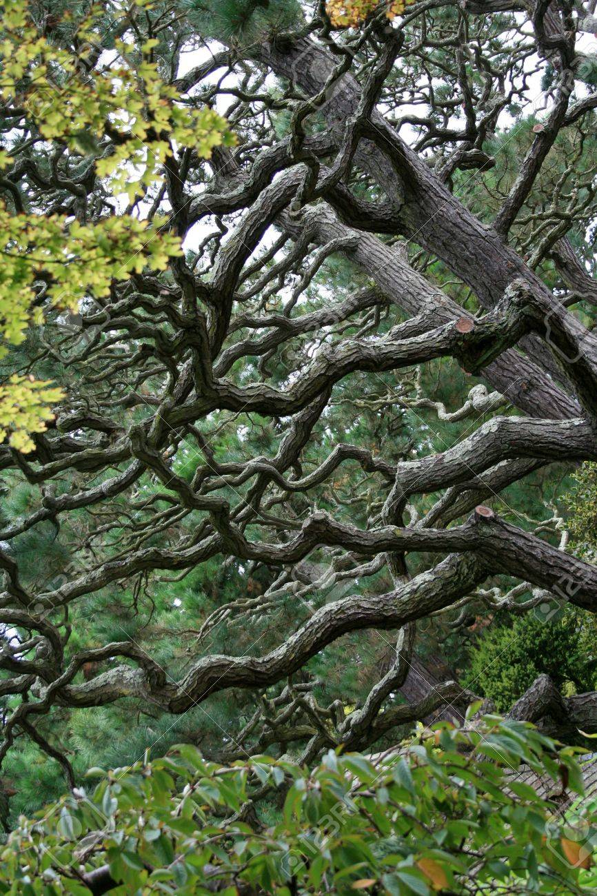 Intricate branches on a twisted pine tree. Stock Photo - 5853240