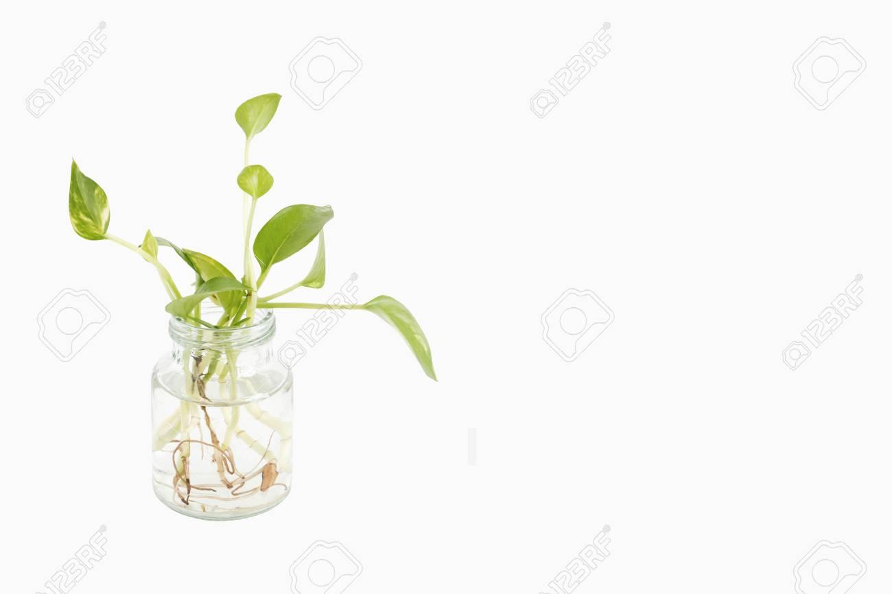 Epipremnum Aureum Is Best Indoor Plants For Clean Air Easy Care
