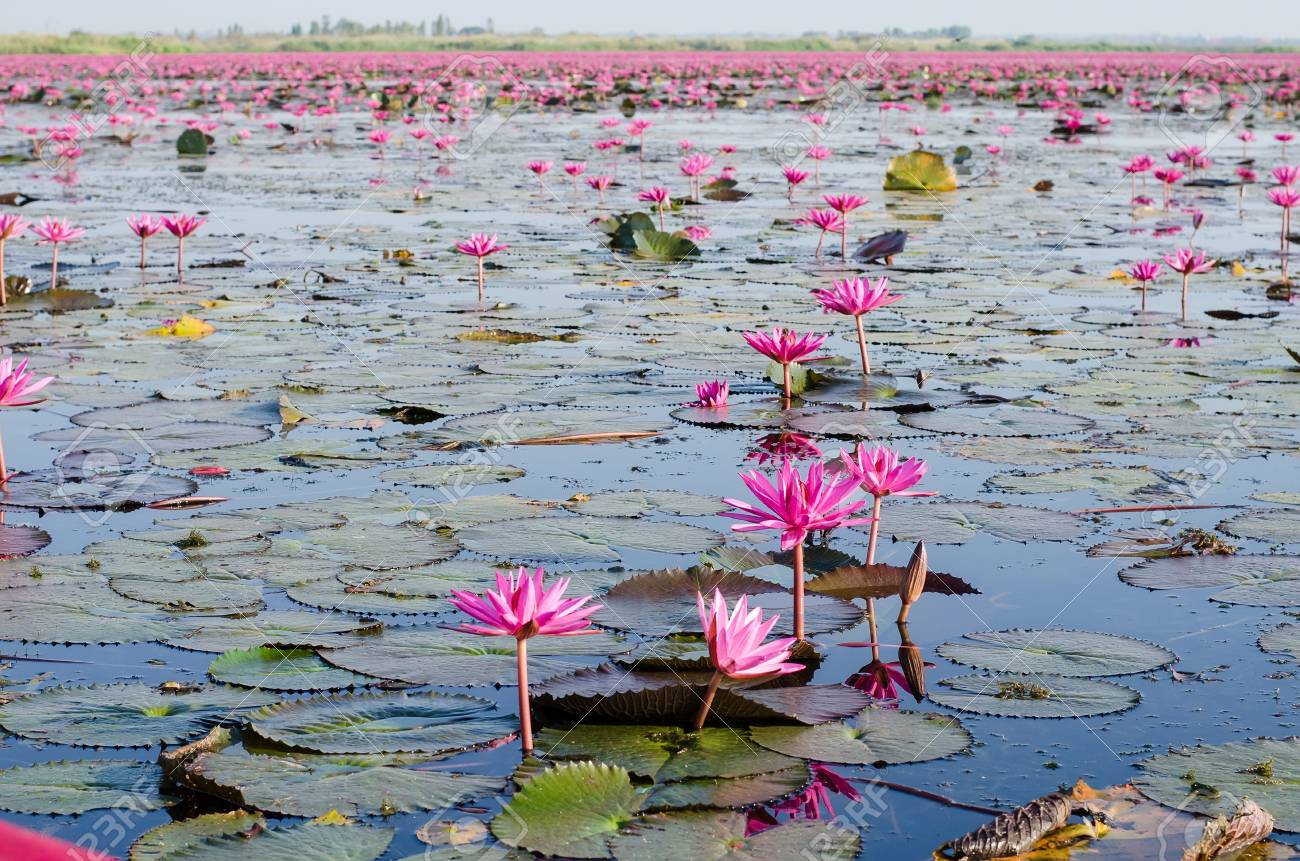 Pink or Red lotus blossoms or water lily flowers blooming on
