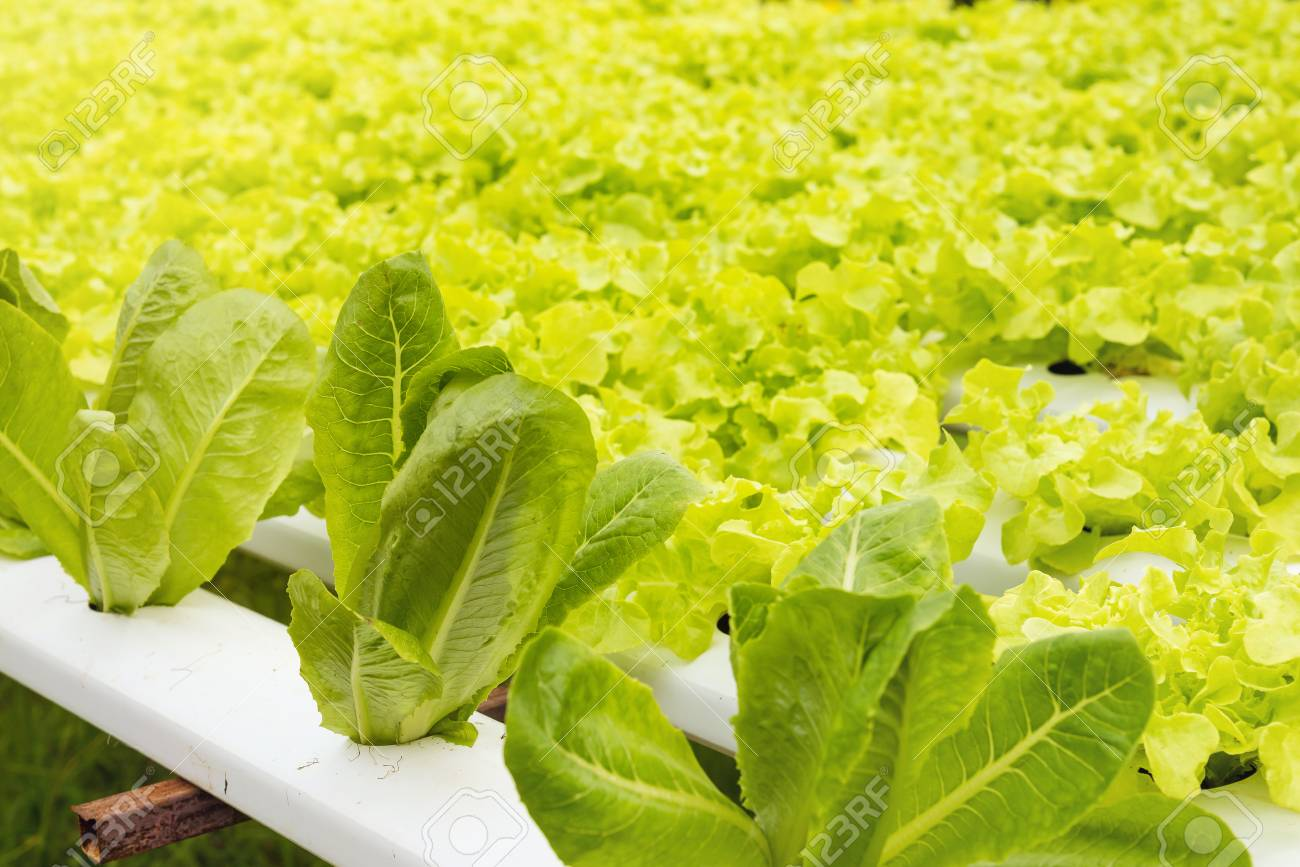 Hydroponics green vegetable growing in the nursery, Agriculture
