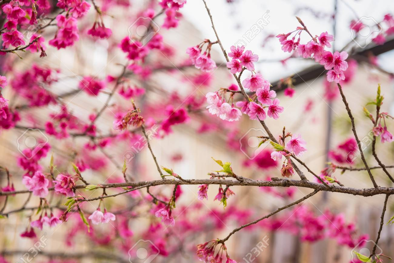 Beautiful pink cherry blossomvid color of cherry blossom or beautiful pink cherry blossomvid color of cherry blossom or pink sakura flower soft focus mightylinksfo