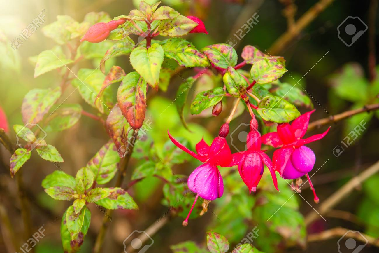 Beautiful fuchsia flowers in gardenailand stock photo picture beautiful fuchsia flowers in gardenailand stock photo 94288948 izmirmasajfo