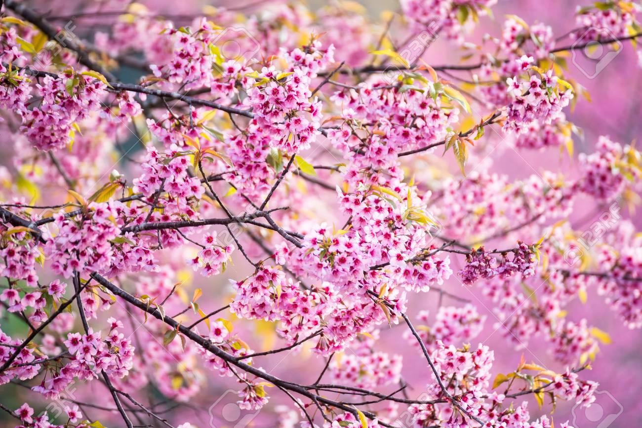 Beautiful pink cherry blossom soft focusvid color of cherry beautiful pink cherry blossom soft focusvid color of cherry blossom or pink sakura flower mightylinksfo