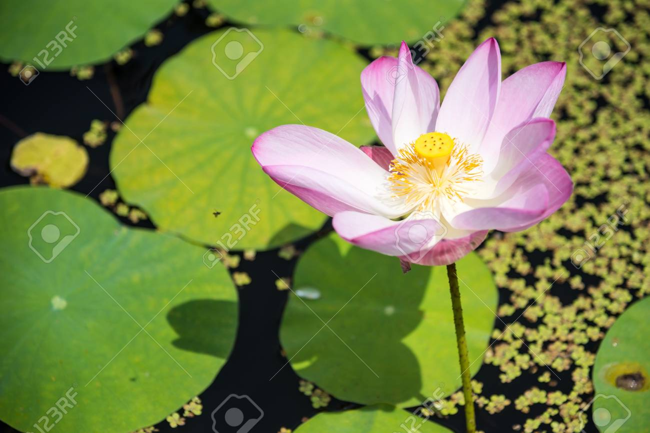 Beauty Water Lily Flower The Lotus Flower And Lotus Flower Plants