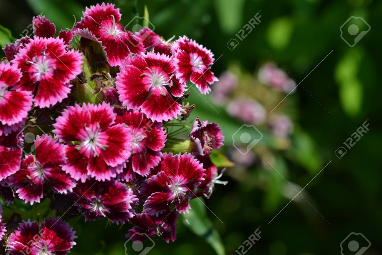 Cloves turkish dianthus barbatus garden plants flower perennial dianthus barbatus garden plants flower perennial horizontal photo stock mightylinksfo