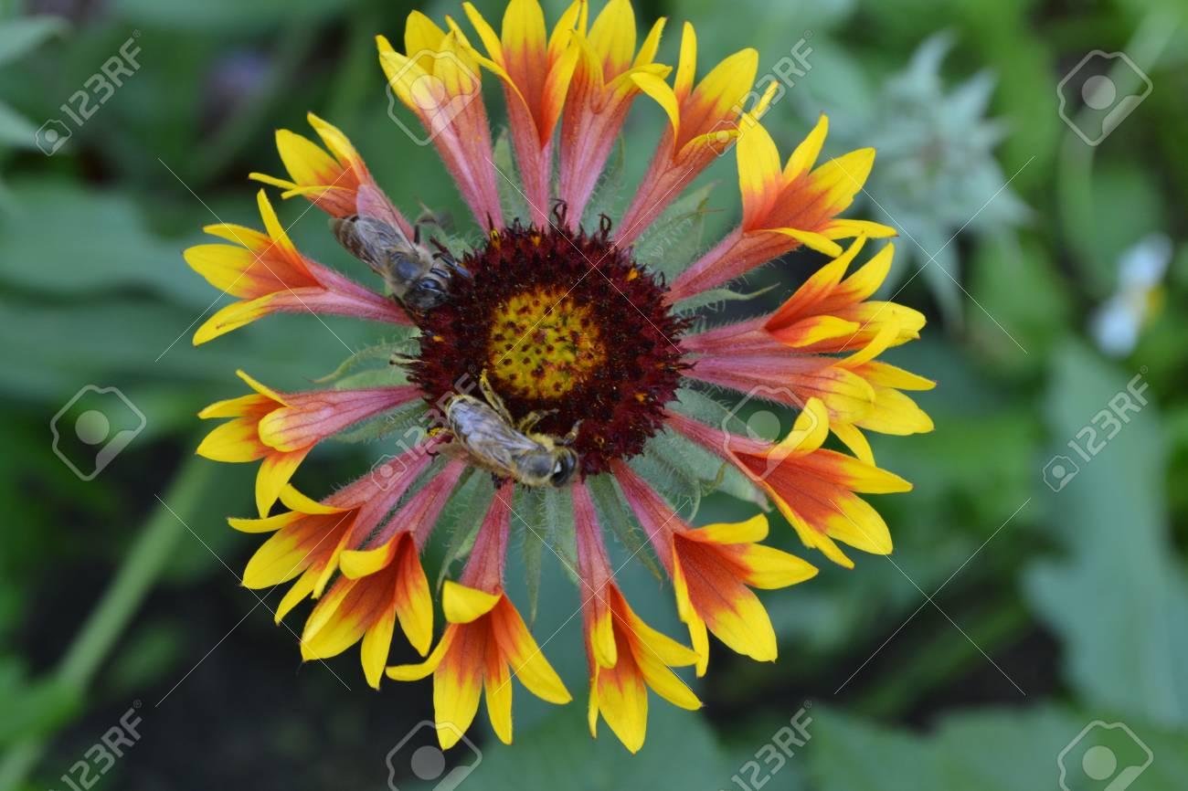 Gaillardia g hybrida fanfare two bees on a flower summer stock two bees on a flower summer flower yellow izmirmasajfo