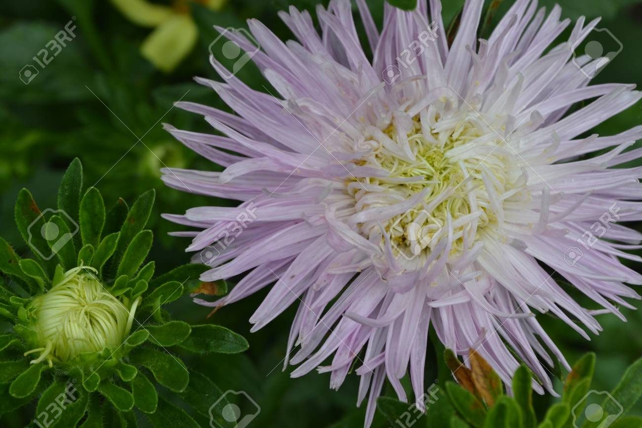 Aster Garden White Needle Petal Sort By Star Like Close Up