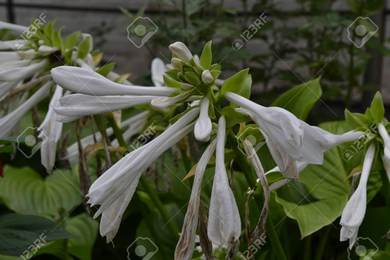 Hosta Hosta Plantaginea Hemerocallis Japonica Floral Bushes