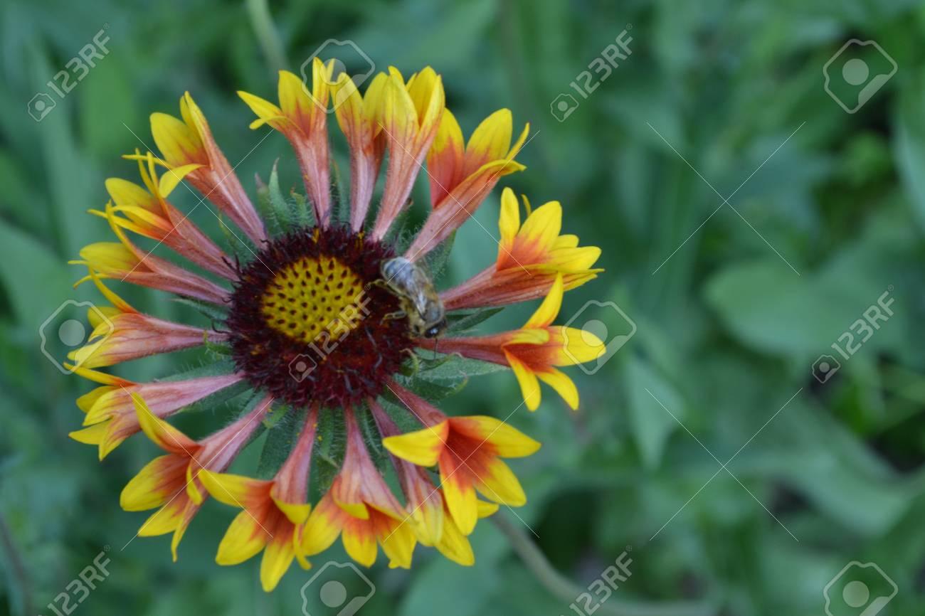 Gaillardia g hybrida fanfare a bee on a flower summer flower a bee on a flower summer flower yellow izmirmasajfo